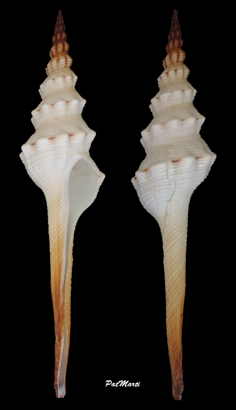 Fusinus colus - (Linnaeus, 1758) Fusinu11