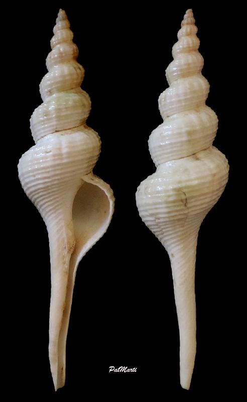 Fusinus frenguellii - (Carcelles, 1953) Fusinu13