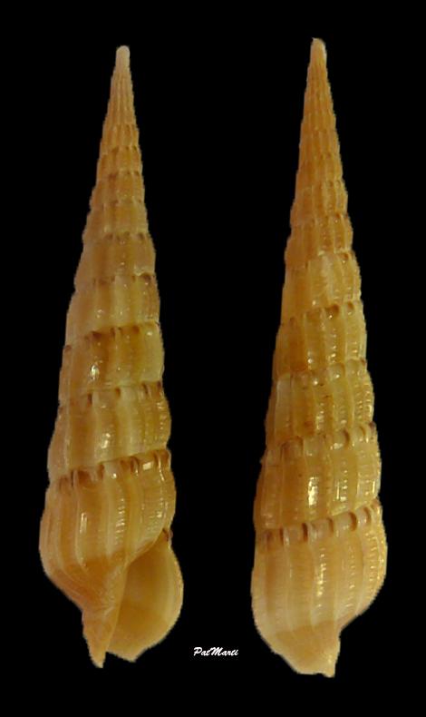 Hastulopsis mindanaoensis - (Aubry, 2008) Hastul10