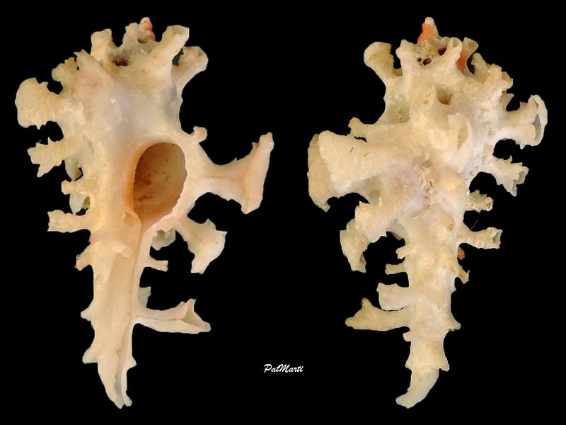 Homalocantha fauroti voir Homalocantha anatomica - (Perry, 1811) Homalo10