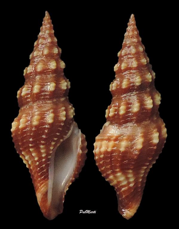 Aguilaria subochracea (E.A Smith, 1877) Inquis10