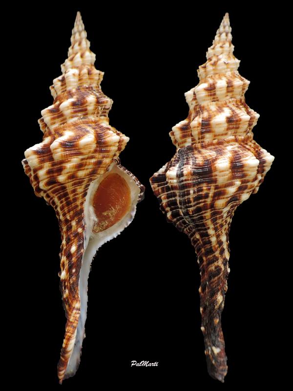 Marmorofusus brenchleyi - (Baird, 1873) Marmor10