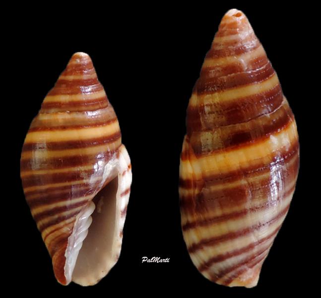 Strigatella flavocingulata - (Lamy, 1938)  Mitra-14