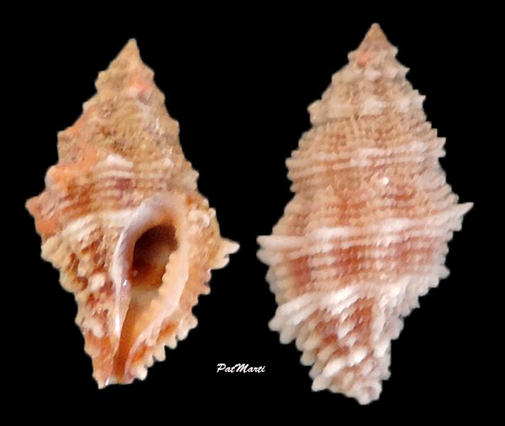 Morula bicatenata - (Reeve, 1846)  Morula11