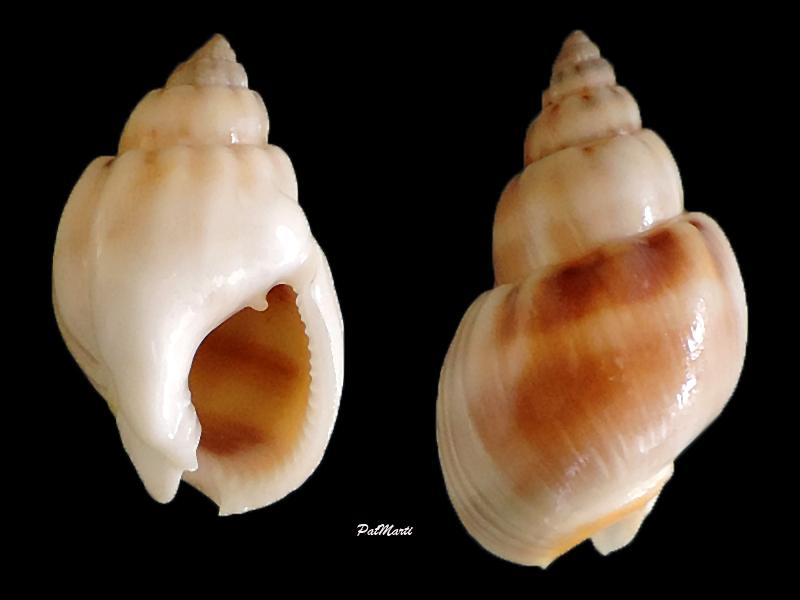 Nassarius arcularia - (Linnaeus, 1758)  Nassar10