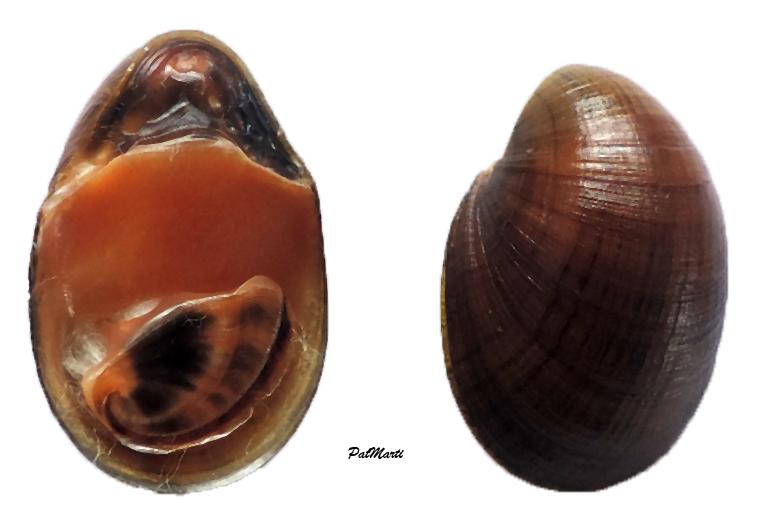 Neripteron lecontei - (Récluz, 1853) Neript10