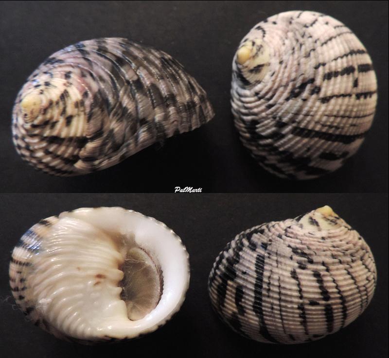 Nerita trifasciata - Le Guillou, 1841  Nerita10