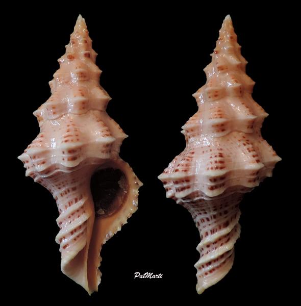 Nodolatirus recurvirostra - (Schubert & J. A. Wagner, 1829)  Nodola10
