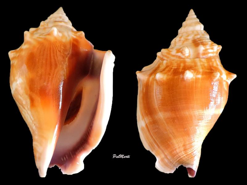 Strombus alatus - (Gmelin, 1791) Stromb10
