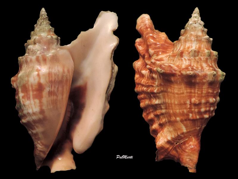 Strombidae Tricornis oldi - (Emerson, 1965)  Stromb11