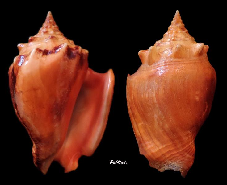 Strombus pugilis worki - Petuch, 1993 Stromb13