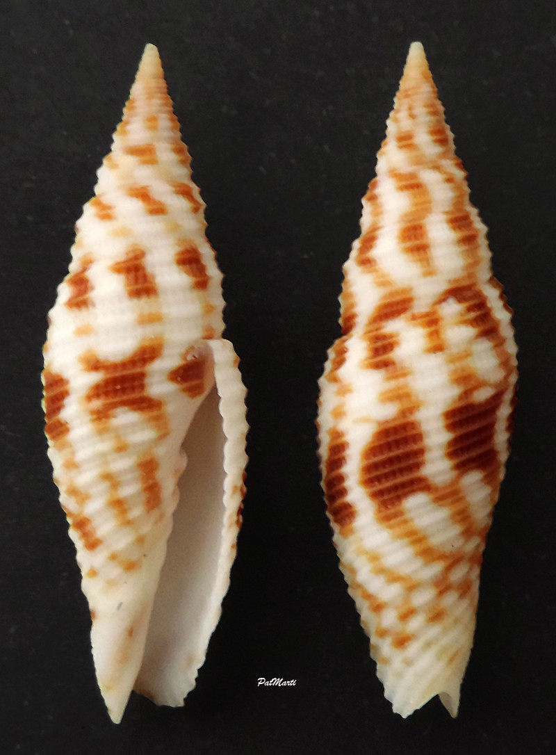 Imbricaria zetema - (Dekkers, Herrmann, Poppe & Tagaro, 2014) Subcan13
