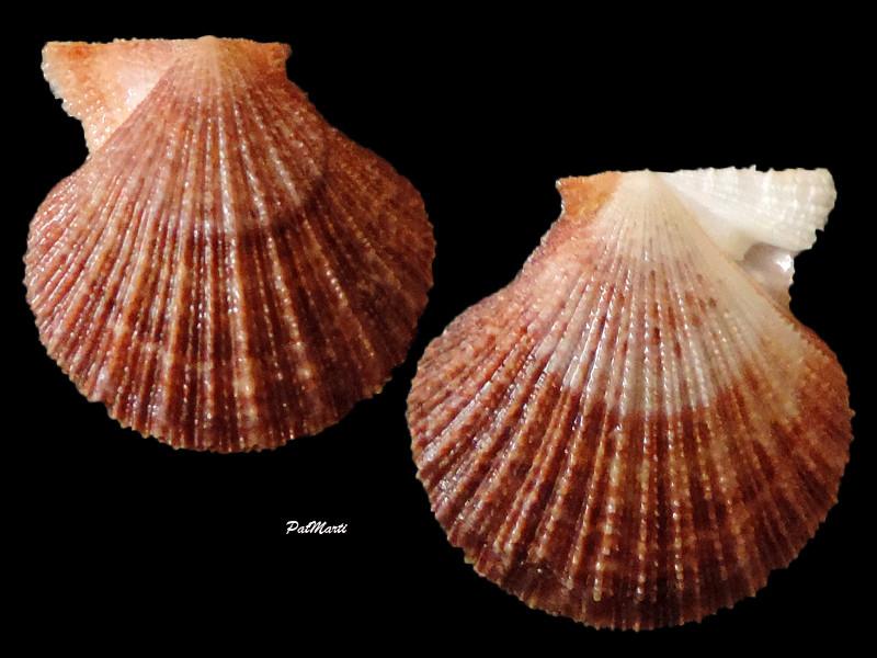 Talochlamys zelandiae - (Gray, 1843)  Taloch10