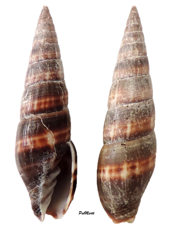 Turriplicifer australis - (Swainson, 1820) Vexill12