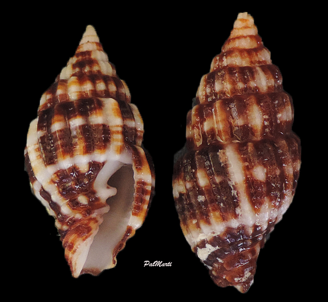 Vexillum dermestinum - (Lamarck, 1811) Vexill17