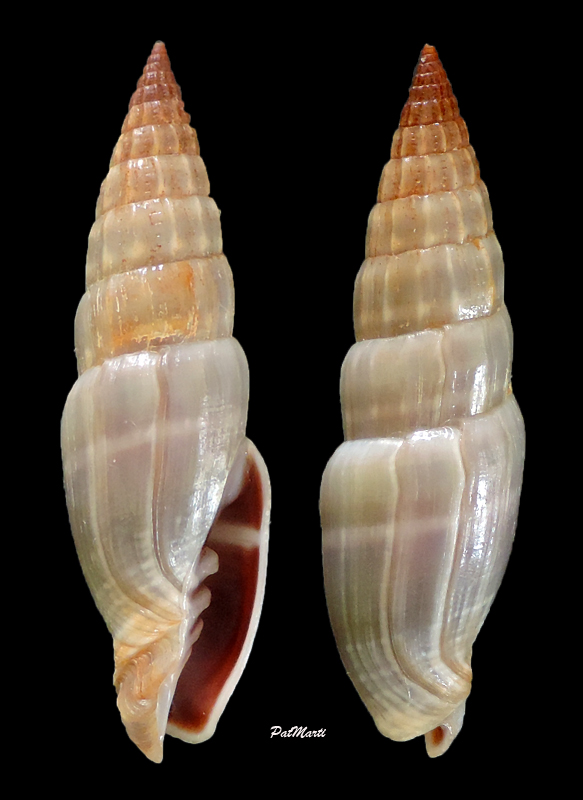 Vexillum semisculptum - (A. Adams & Reeve, 1850)  Vexill27