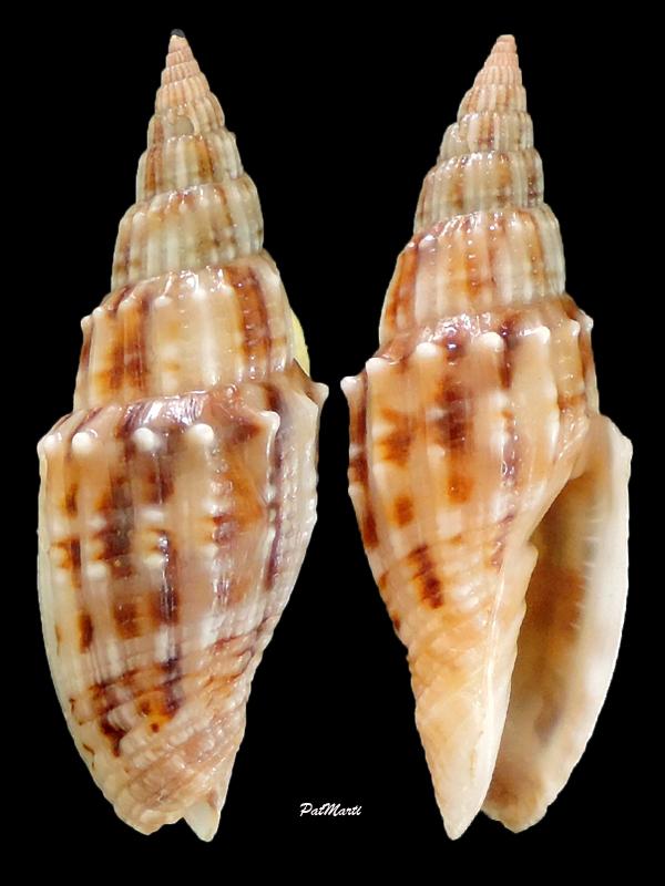 Vexillum obtusispinosum - (Sowerby, 1874) Vexill28