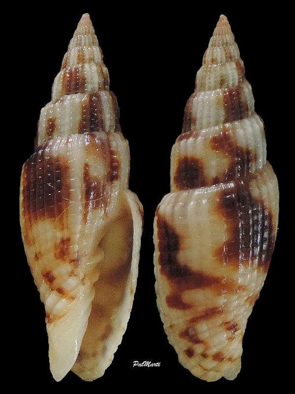 Vexillum zebuense - (Reeve, 1844) Vexill29