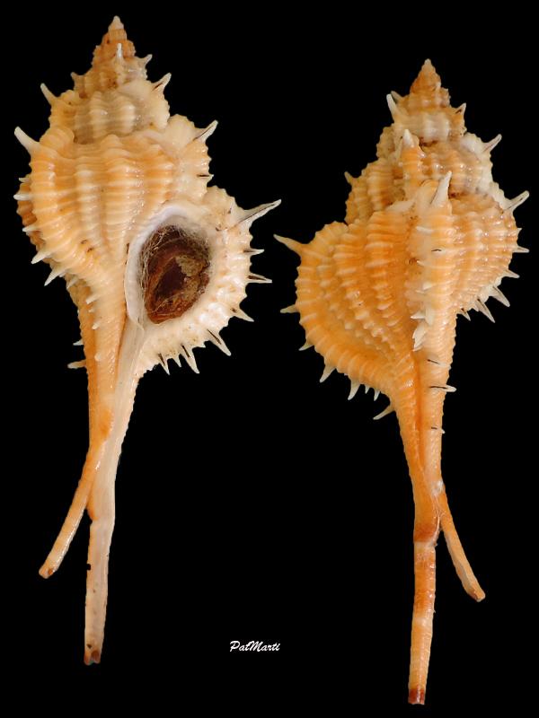 Vokesimurex mindanaoensis - (G. B. Sowerby II, 1841)  Vokesi11