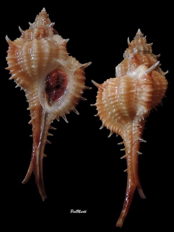 Vokesimurex mindanaoensis - (G. B. Sowerby II, 1841)  Vokesi12