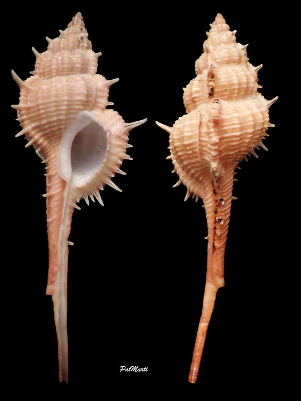 Vokesimurex mindanaoensis - (G. B. Sowerby II, 1841)  Vokesi13