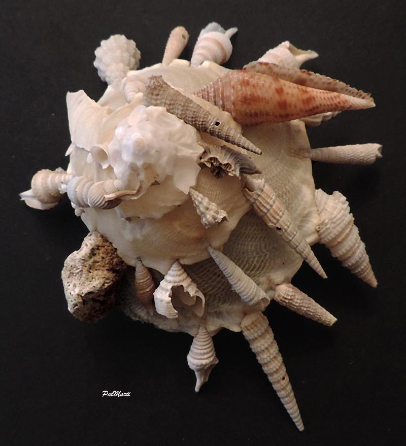 Xenophora pallidula - (Reeve, 1842) - Page 2 Xenoph12