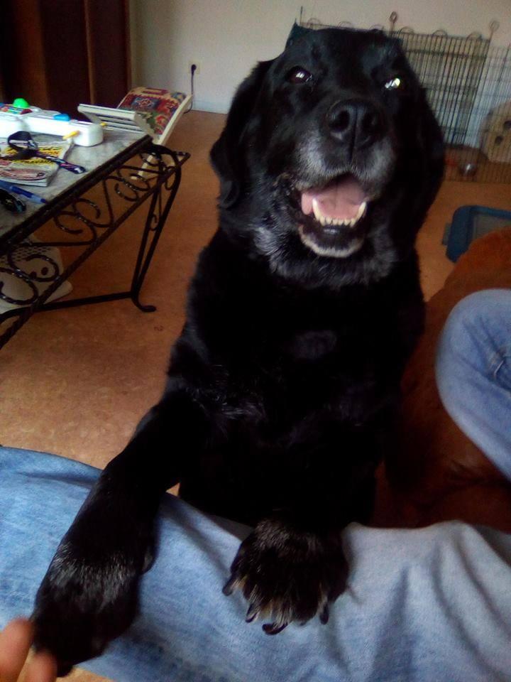 DIVA/Dina labrador femelle noire de 12 ans de Béthune - asso Coeur de Félins (62)  28535410