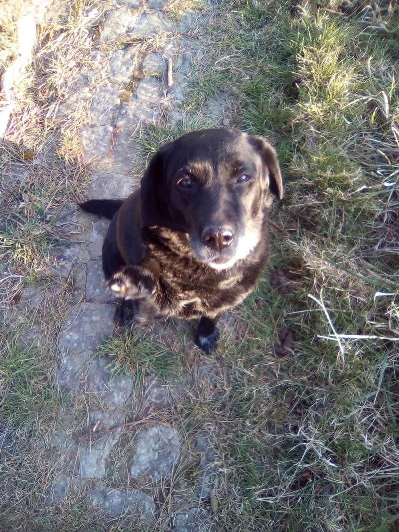 DIVA/Dina labrador femelle noire de 12 ans de Béthune - asso Coeur de Félins (62)  28584310