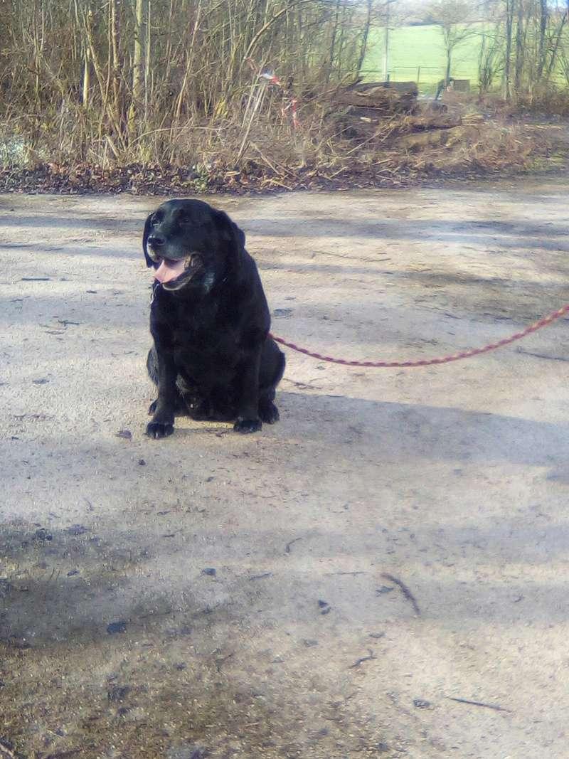 DIVA/Dina labrador femelle noire de 12 ans de Béthune - asso Coeur de Félins (62)  29062910