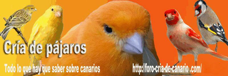 Foro gratis cría de canarios (canaricultura y silvestrismo)