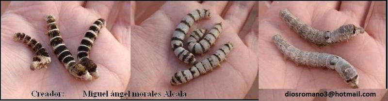 Disponemos de muchas razas de gusanos de seda.síguenos para saber cual