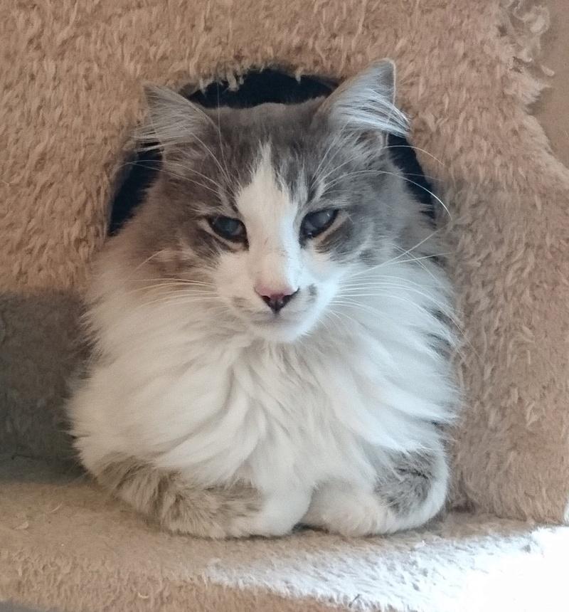 Perdu chat blanc et gris poils longs Chemin de la Salvetat COLOMIERS Lancym10