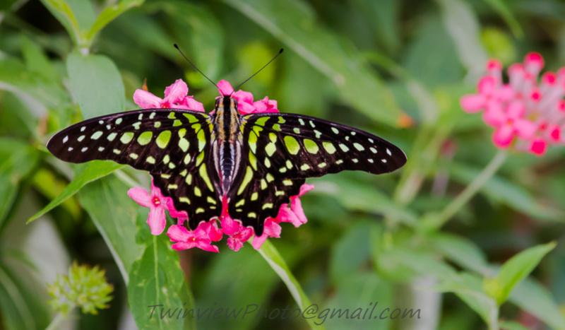 Papillon en liberté 002_1611