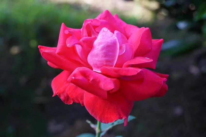 Rose... Dsc00314