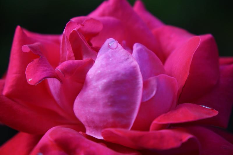 Rose... Dsc00315