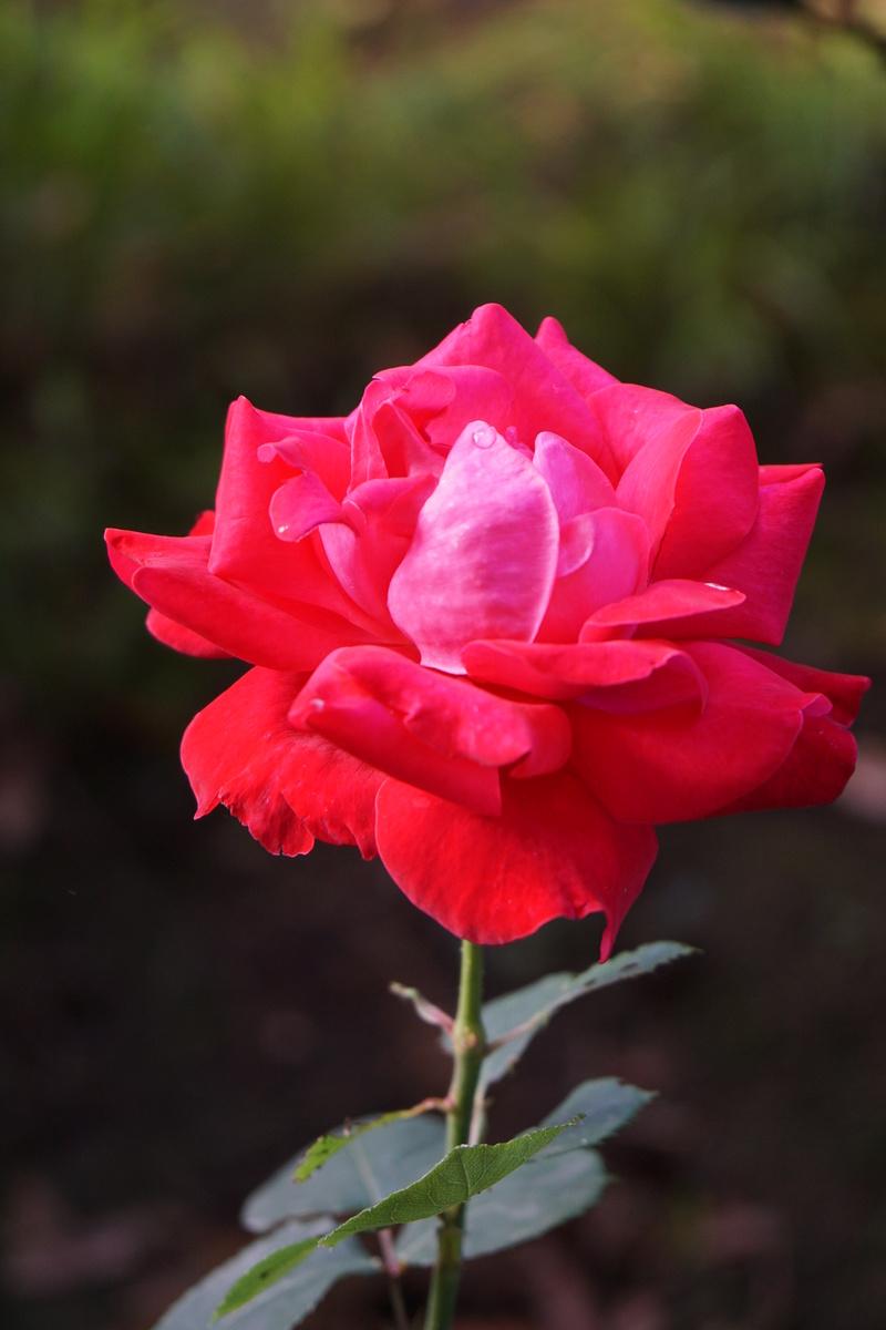 Rose... Dsc00316