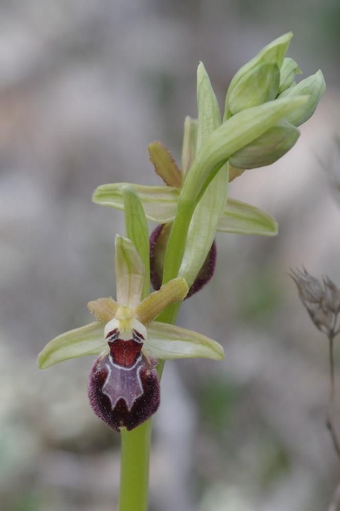Ophrys exaltata? Provincialis ? Imgp4410
