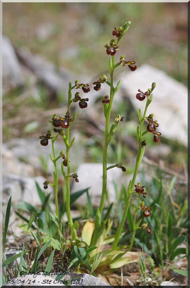 Ophrys miroir histoire de speculer un peu...) Imgp7110