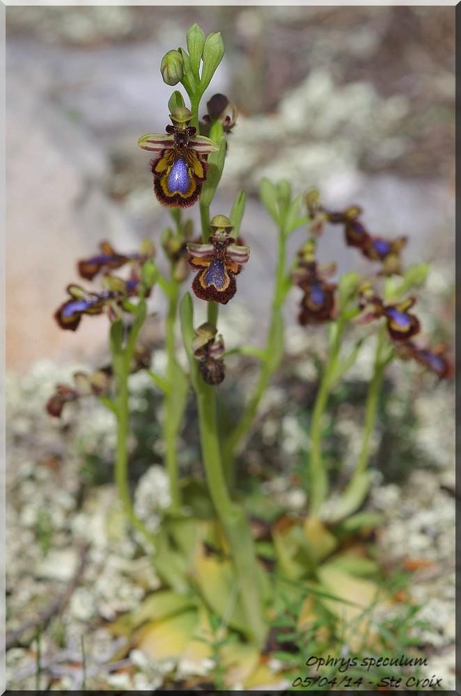 Ophrys miroir histoire de speculer un peu...) Imgp7111