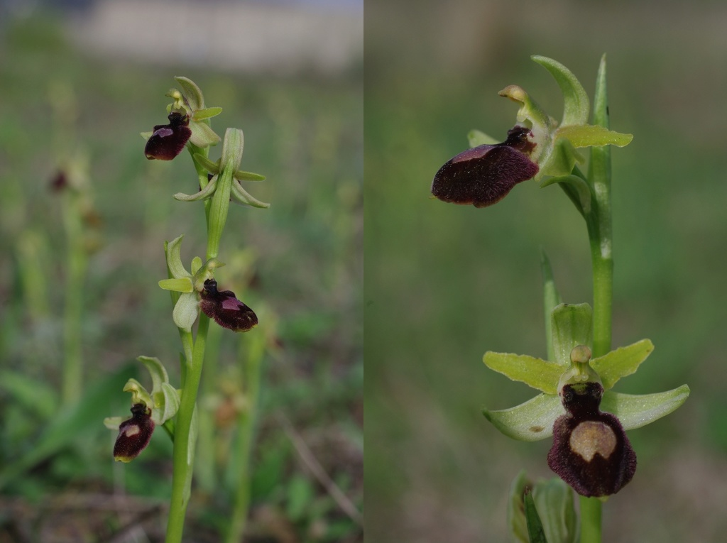 Ophrys suboccidentalis - Page 6 Ophrys11