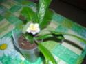 streptocarpus en fleur Dscn7210