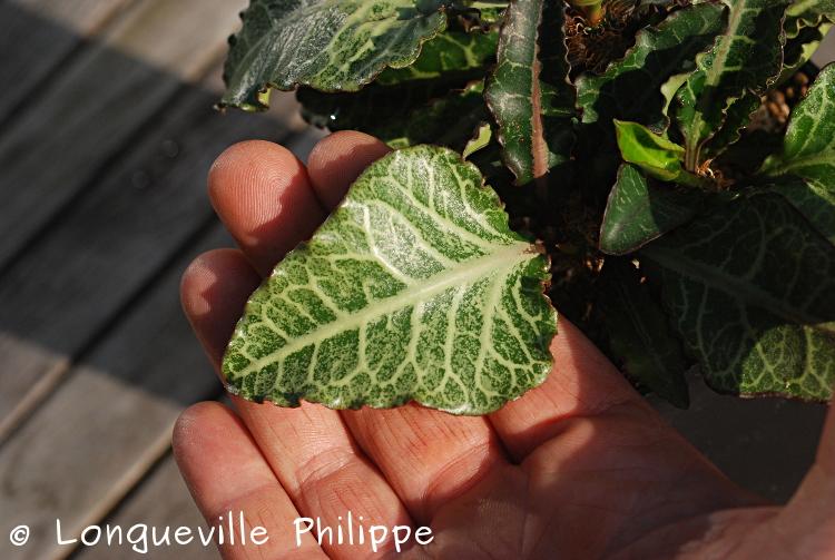 Euphorbia francoisii - Page 16 Dsc_6317
