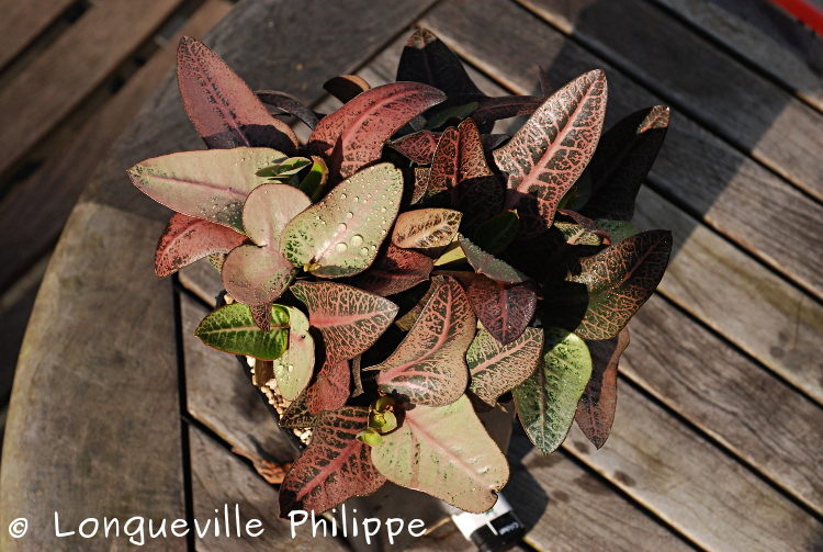 Euphorbia francoisii - Page 16 Dsc_6319