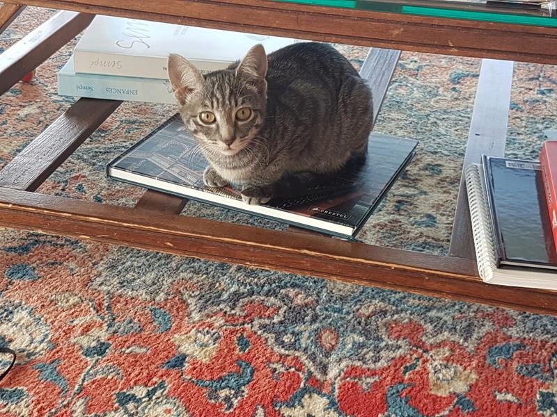 NIET, chatonne tigrée, née le 22/05/17 20171010