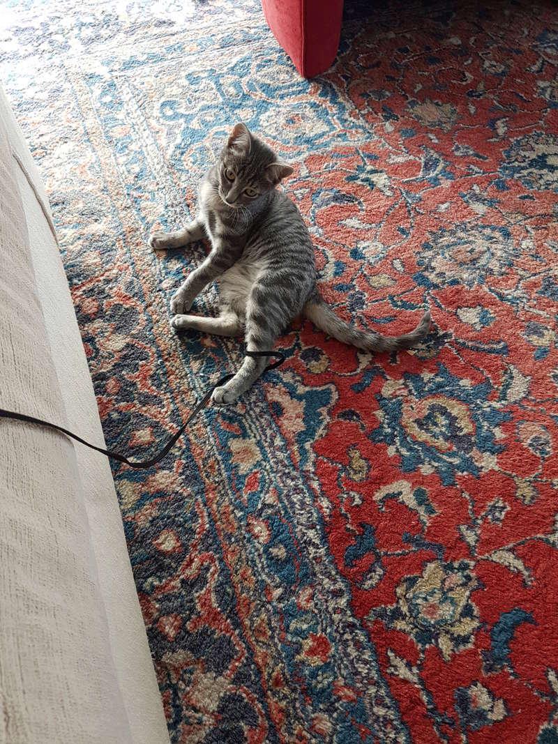 NIET, chatonne tigrée, née le 22/05/17 20171012