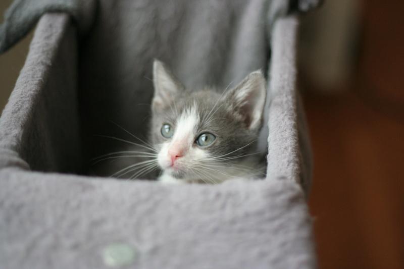 nakao - NAKAO, chaton gris et blanc, né le 08/09/17 Img_0210