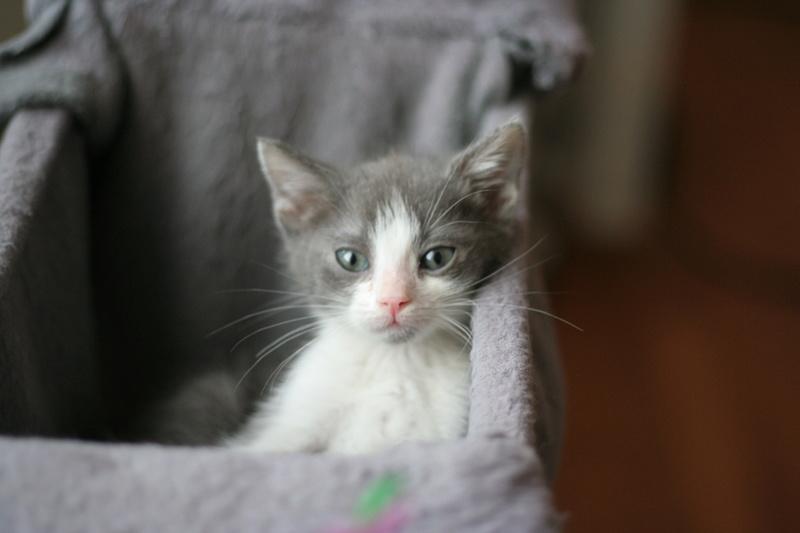 nakao - NAKAO, chaton gris et blanc, né le 08/09/17 Img_0211
