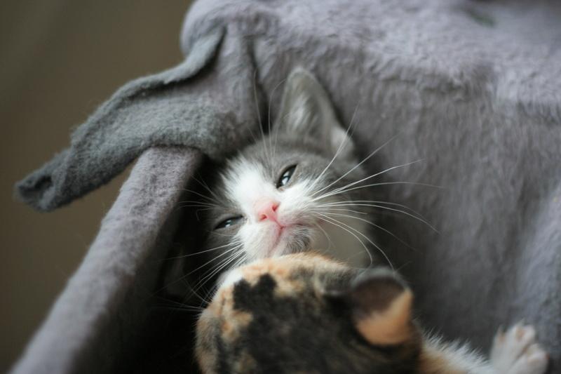 nakao - NAKAO, chaton gris et blanc, né le 08/09/17 Img_0212