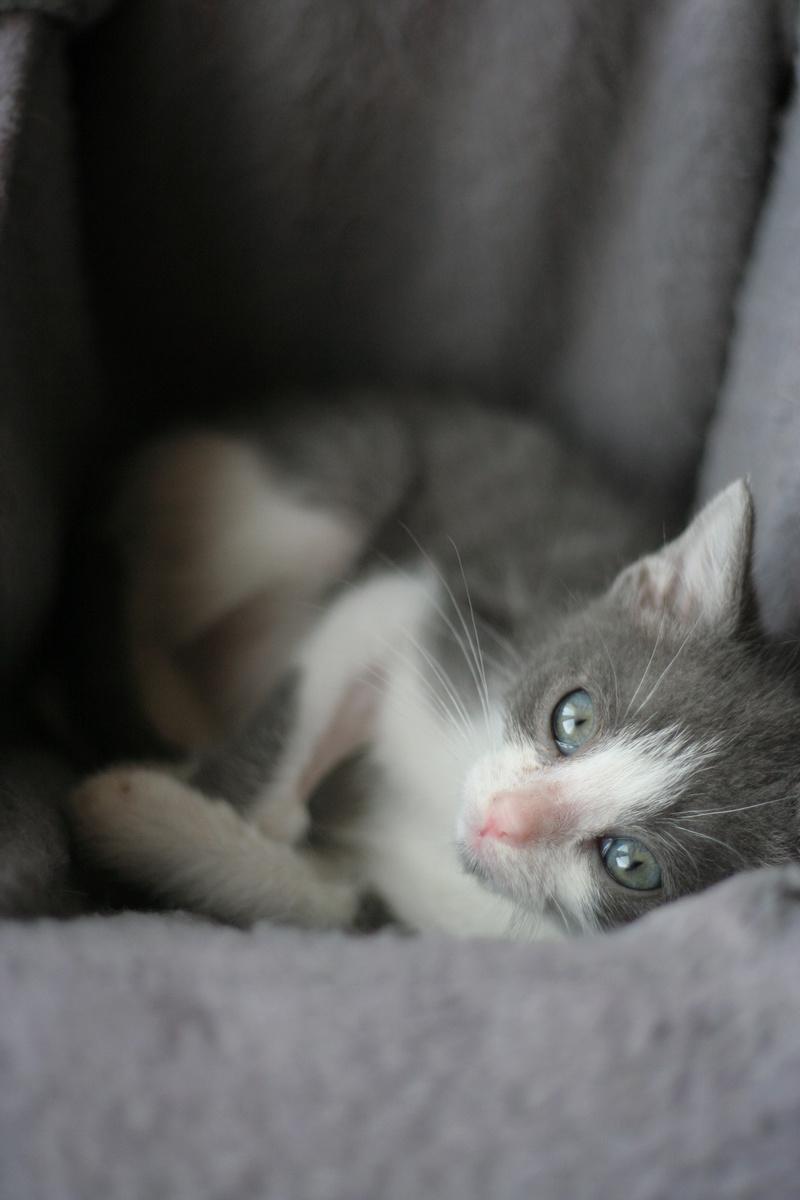 nakao - NAKAO, chaton gris et blanc, né le 08/09/17 Img_0311