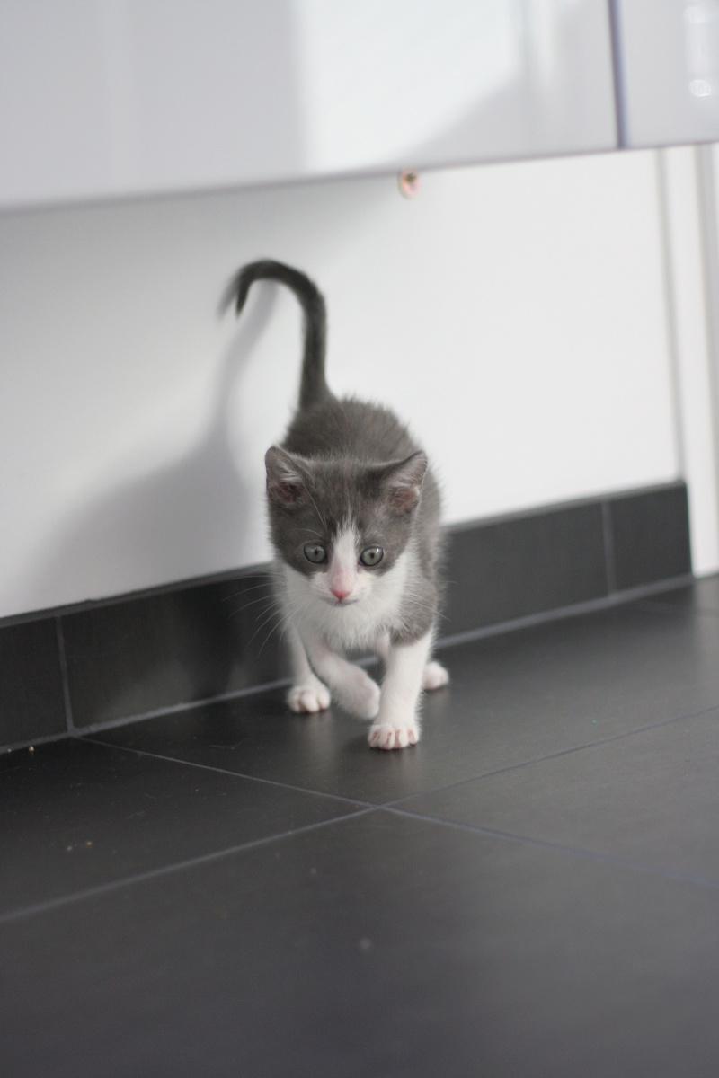 nakao - NAKAO, chaton gris et blanc, né le 08/09/17 Img_0319